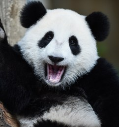 in this picture taken on august 23 2016 one year old now is two years old female giant panda cub nuan nuan reacts inside her enclosure during joint  [ 1200 x 800 Pixel ]