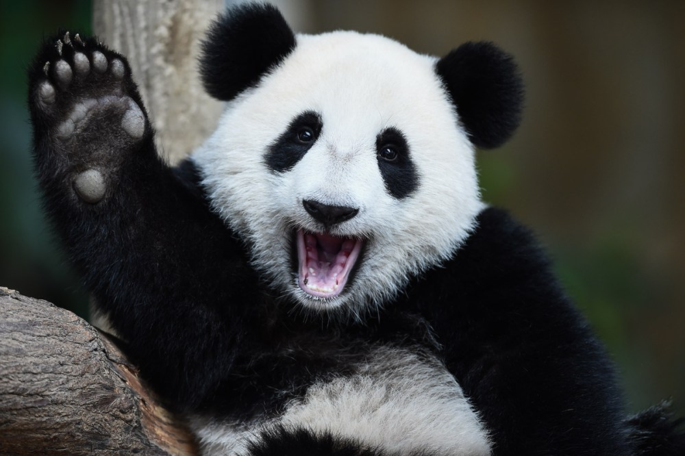 medium resolution of in this picture taken on august 23 2016 one year old now is two years old female giant panda cub nuan nuan reacts inside her enclosure during joint