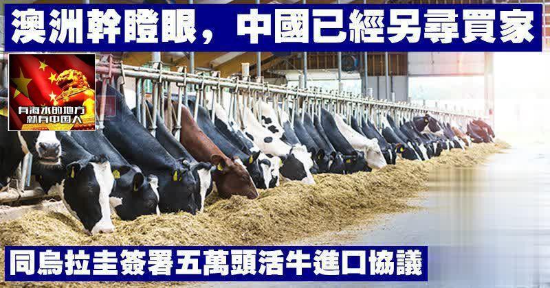澳洲亁瞪眼,中國已經另尋買家,同烏拉圭簽署五萬頭活牛進口協議