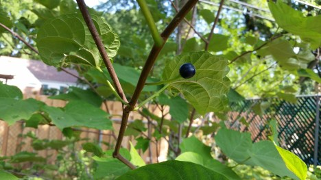 It turns out Alangium platanifolium has intriguing blue berries
