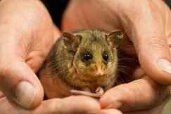 Mountain pygmy possum | Jon Harris photography