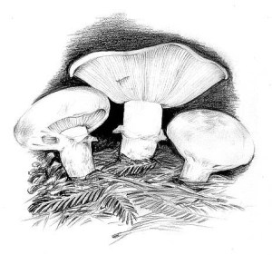 The Great Matsutake