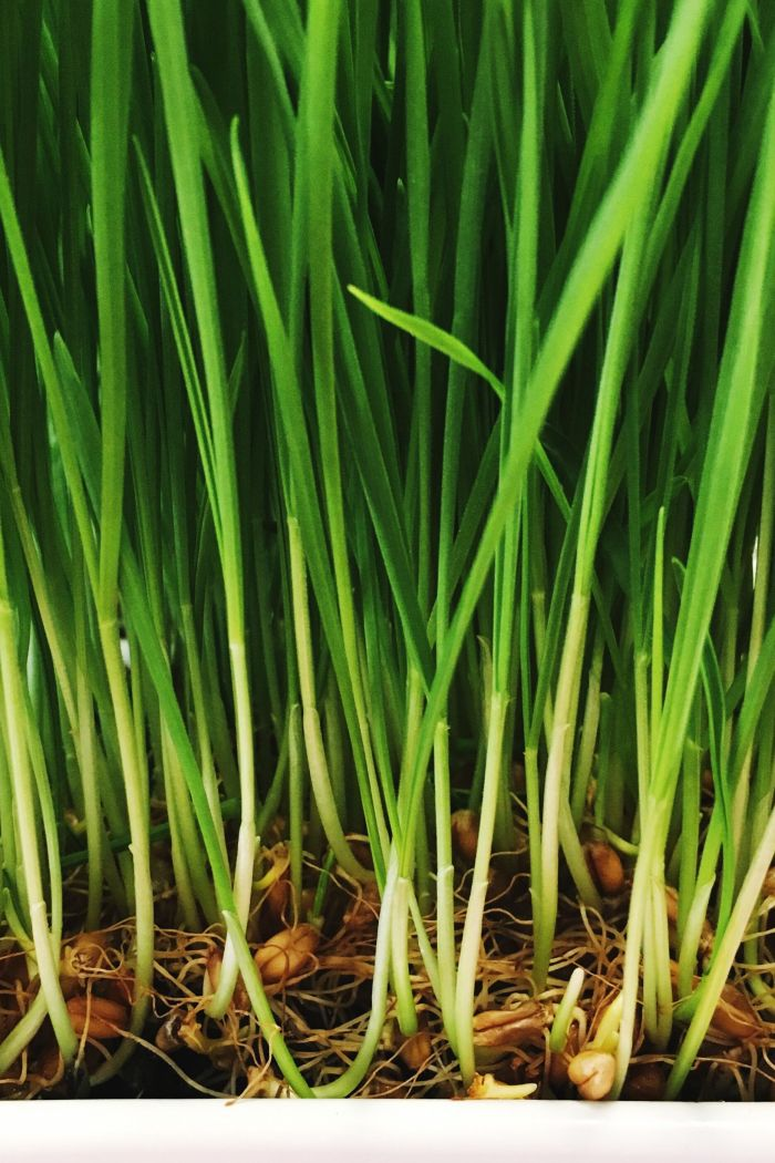 Grow Your Own Wheat Grass | Easy Table Decor