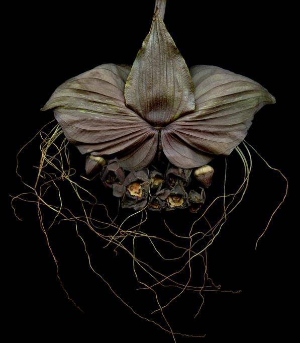 bat flower 35x40