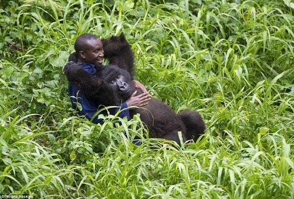 Bond Between Endangered Gorillas And Their Caretakers 3