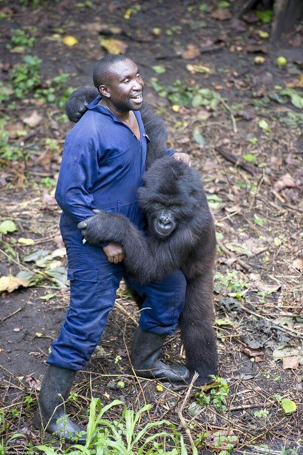 Gorillas and their caretakers 7
