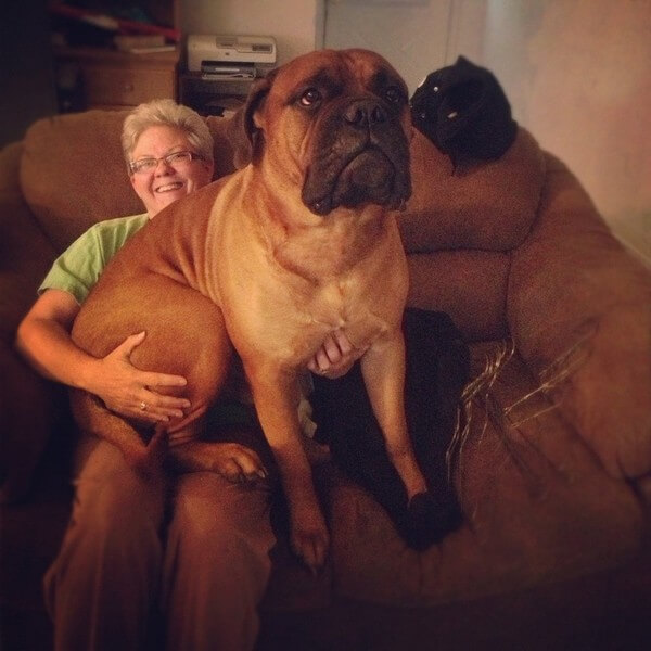 big dog sofa bed soft 15 enormous dogs that are just babies