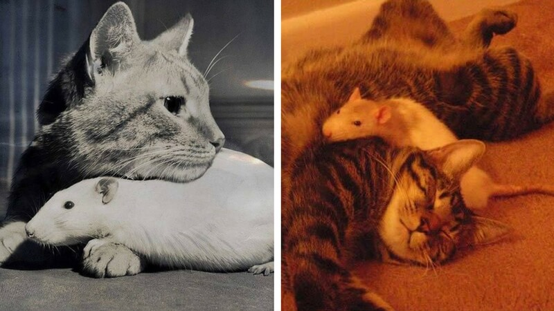 19 Cat And Mouse Friends Examples That Will Make You Believe In Love Again