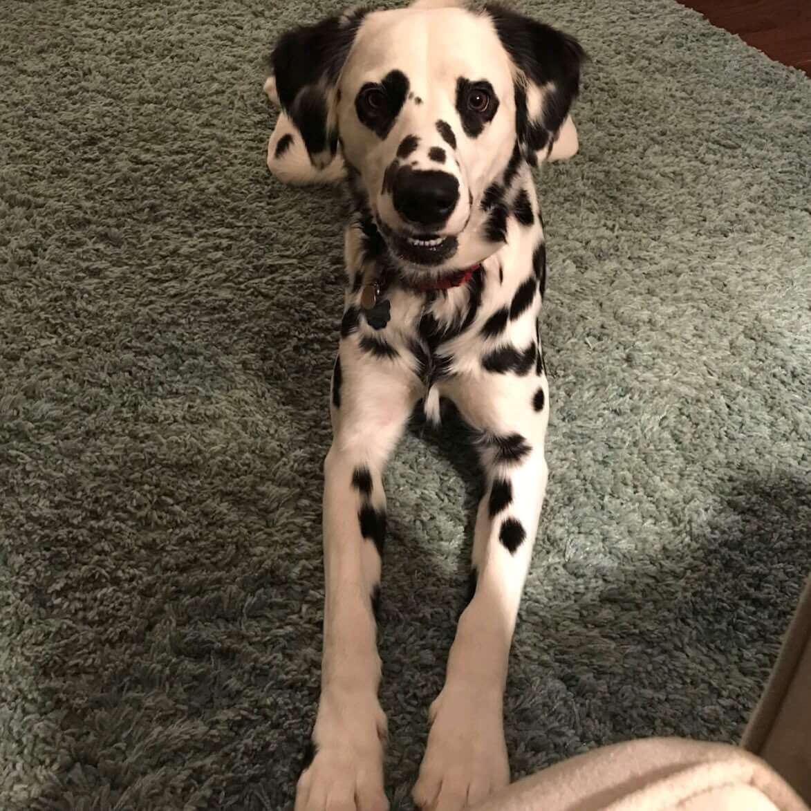 Meet Charlie The Dalmatian And His Heart Shaped Eyes That