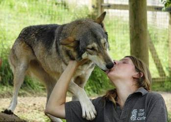 wolf cute animals wolves baby hug ferocious heart attack most why scary eyes tell melt attacking attacks face woman rawr