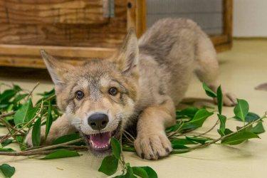 wolf little heart melt cutest adorable smooch romantic