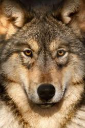 wolf wolves grey cute face gray animal eyes american scott denny 500px wildlife animals indian heart brown wolve lobo help