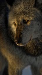 wolf cute wild wolves animals animal sad eyes heart dogs indian flickr loup spirit native really mountain stuff american lone