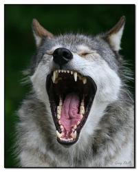 wolf cute mouths wolves animal wild animals teeth adorable wolfs heart hd hungry cutest really kisses seem giving wallpapers