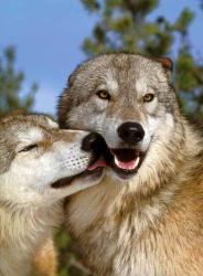wolf cute heart wolfs cutest combo perfect