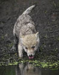 wolf cute wolves pup baby arctic animals daniel pups parent heart cutest 500px most wild thirst ferocious fox why animal