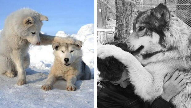 29 cute wolf pictures