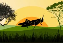 Locust crisis