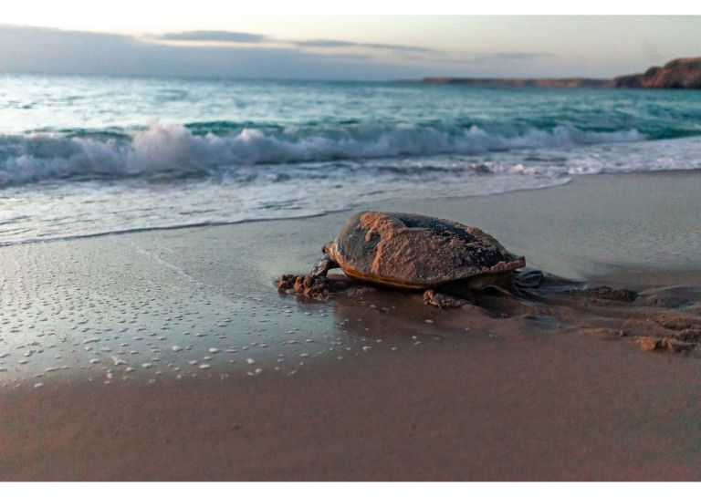 The Sea Turtle, quite exhausted, returns to the sea.