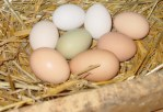Backyard Chickens – The 5 Best Breeds For Egg Layers