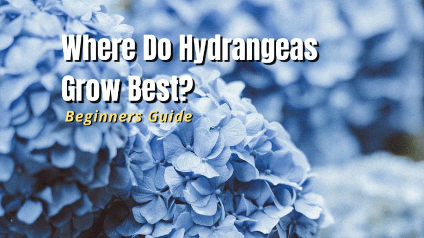 where do hydrangeas grow