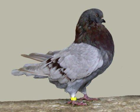 Giant Runt Pigeon
