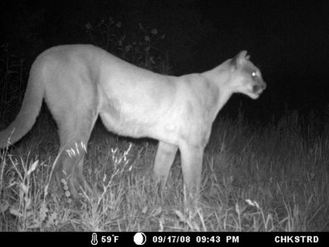 Game Camera Photograph of Mountain Lion at Night. Backyard Wildlife
