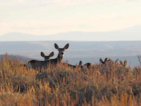 Mule Deer Does with their large, prominent, namesake ears