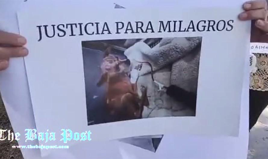 Queman a perrita Chihuahua sus dueños, la rescatan activistas, pero murió, testigos de los hechos son amenazados