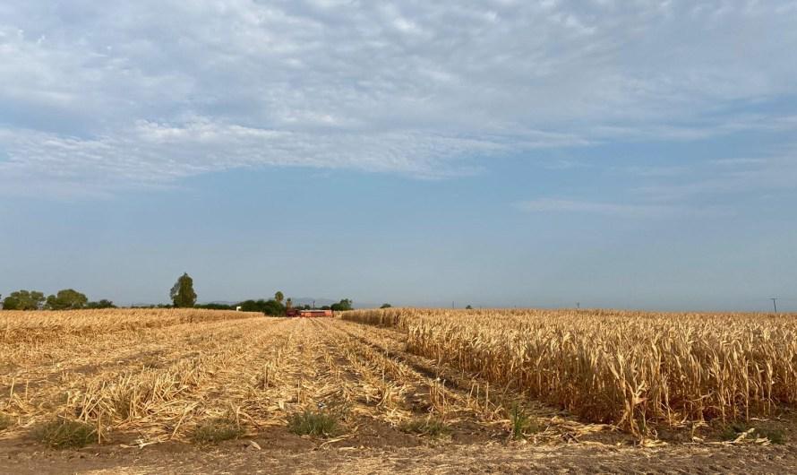 Inicia cosecha de maíz en parcelas del valle de Mexicali, como parte de la reconversión productiva en la zona