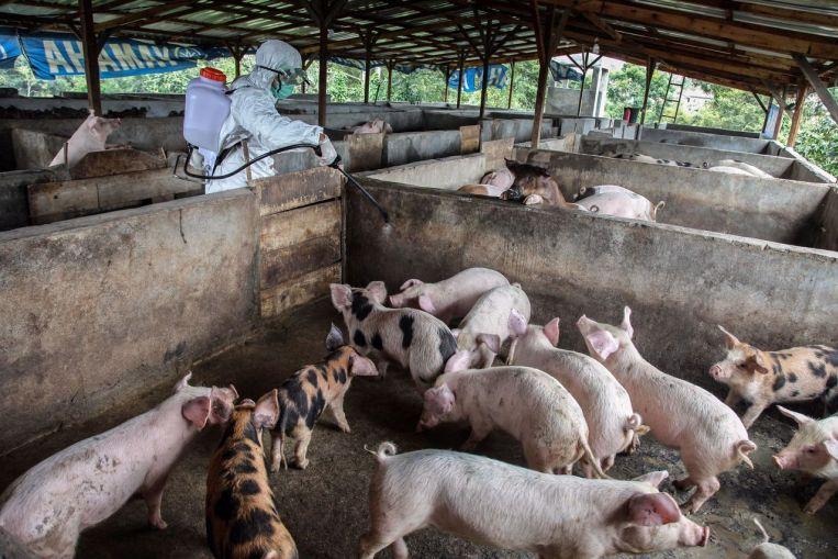 Swine fever outbreak bali