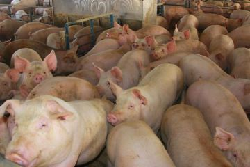 bali officail takes back african swine fever comment