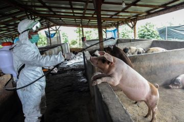 Thousands more pigs have reportedly died across Bali in recent weeks, but animal health authorities have yet to identify the suspected virus