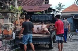African Swine Flu Suspected In Hundreds Of Pigs In Bali