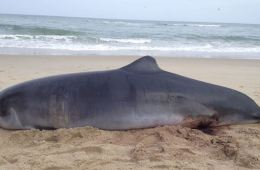 C:\Users\coach\Desktop\Beached Whale Cut Up And Extracted For Oil In Bali