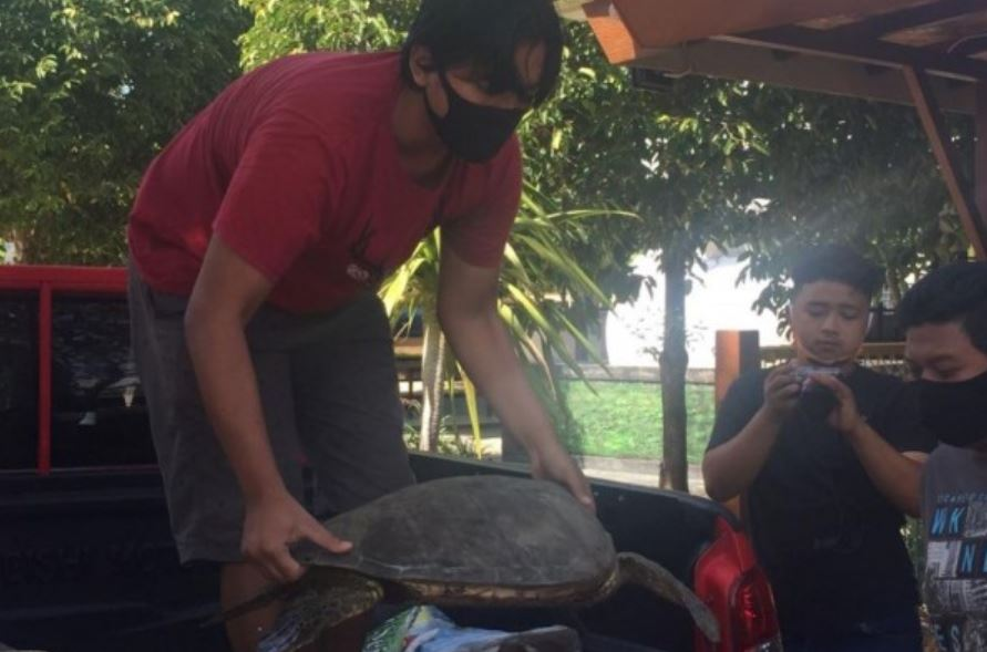 green turtles used for meat