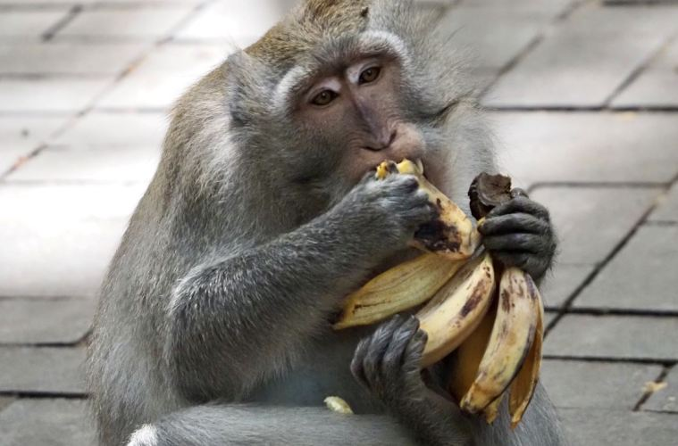 Wild Monkey Continues To Cause Problems For Bali Residents