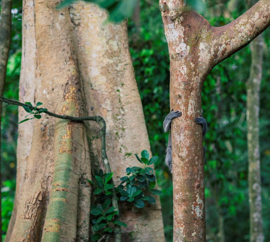 bali monkey hiding