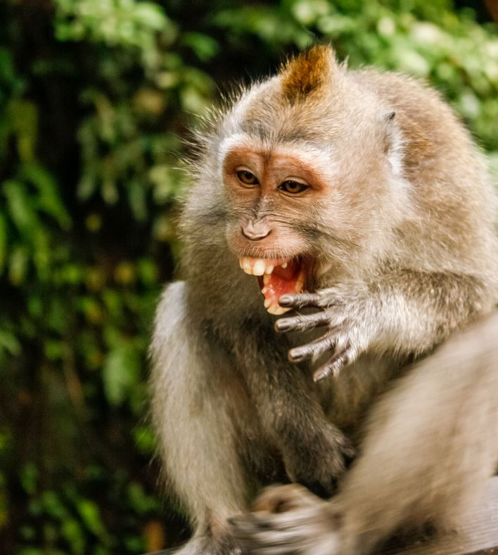 bali monkey laughing