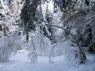 More gray birch bending across Balsamea Way.