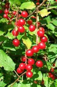 Debar 04 Chokecherry