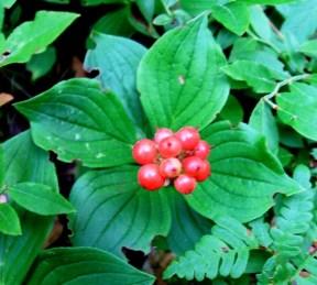Bunchberry fruit
