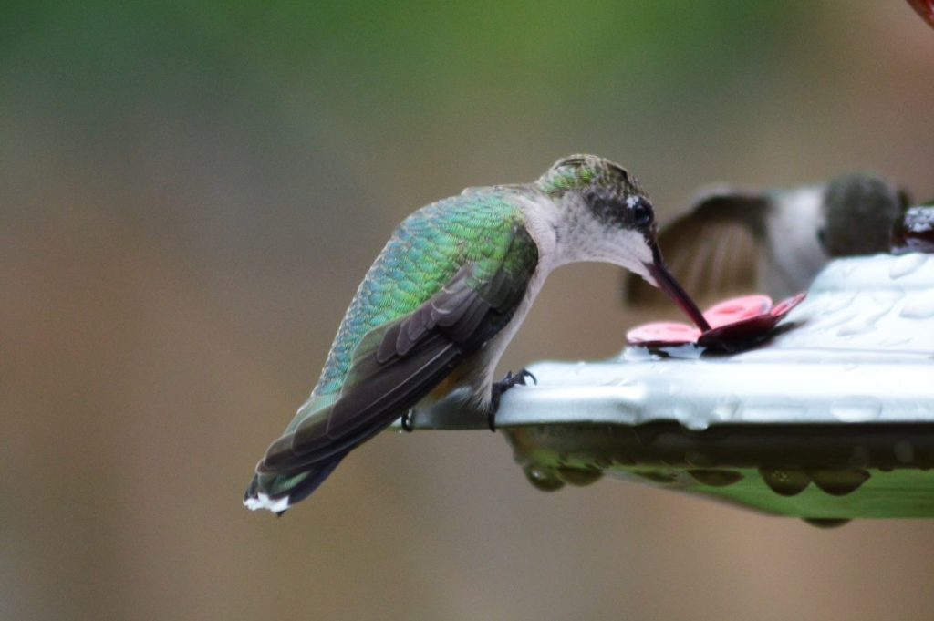 Two Hummingbirds Drinking At A Feeder