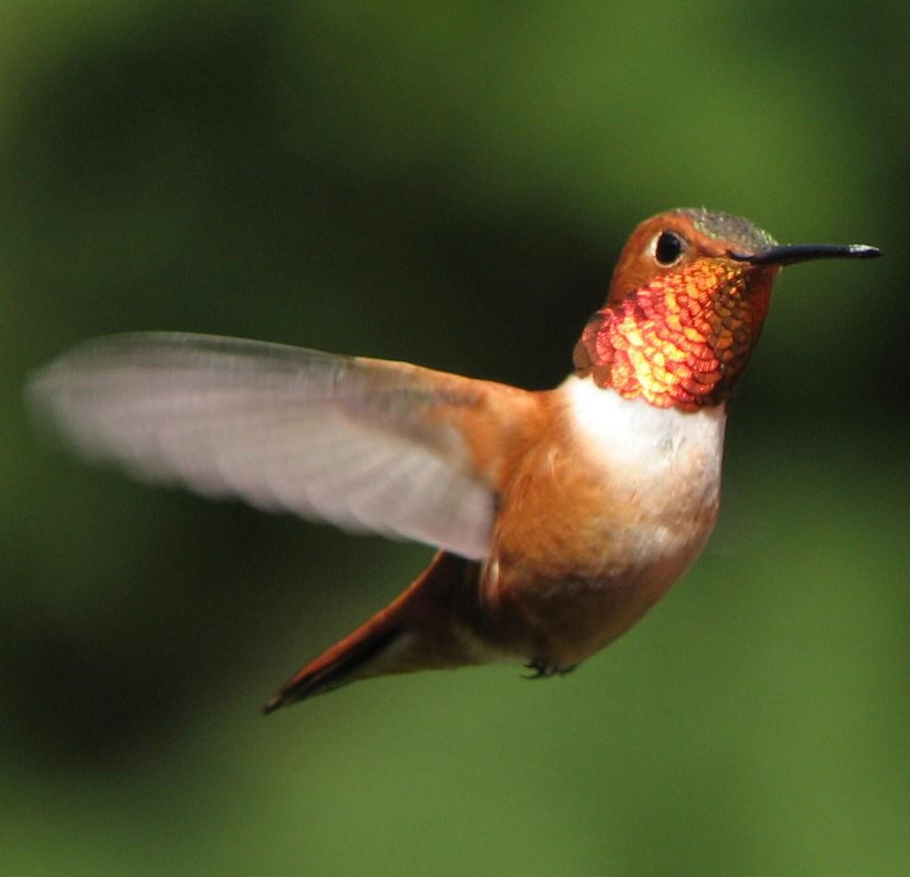 Rufous Hummingbird Midflight