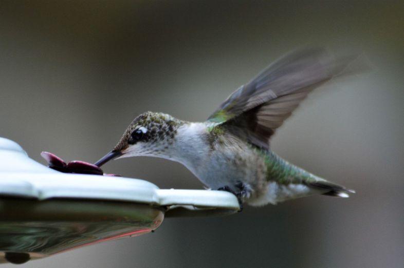 Hummingbird Drinks From The Feeder