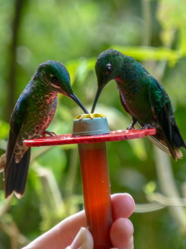 Two Hummingbirds Share A Drink From A Handheld Feeder