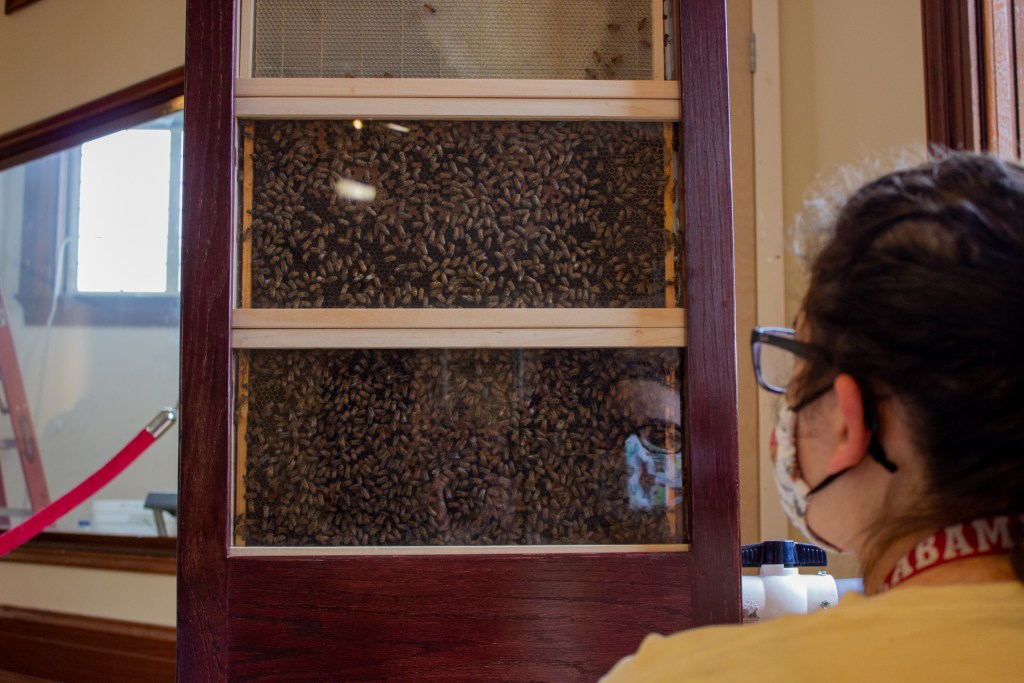A Ua Student Watches A Bee Hive At The Buzz About The Bees Exhibit. Photo By Libby Foster For The Bama Buzz.