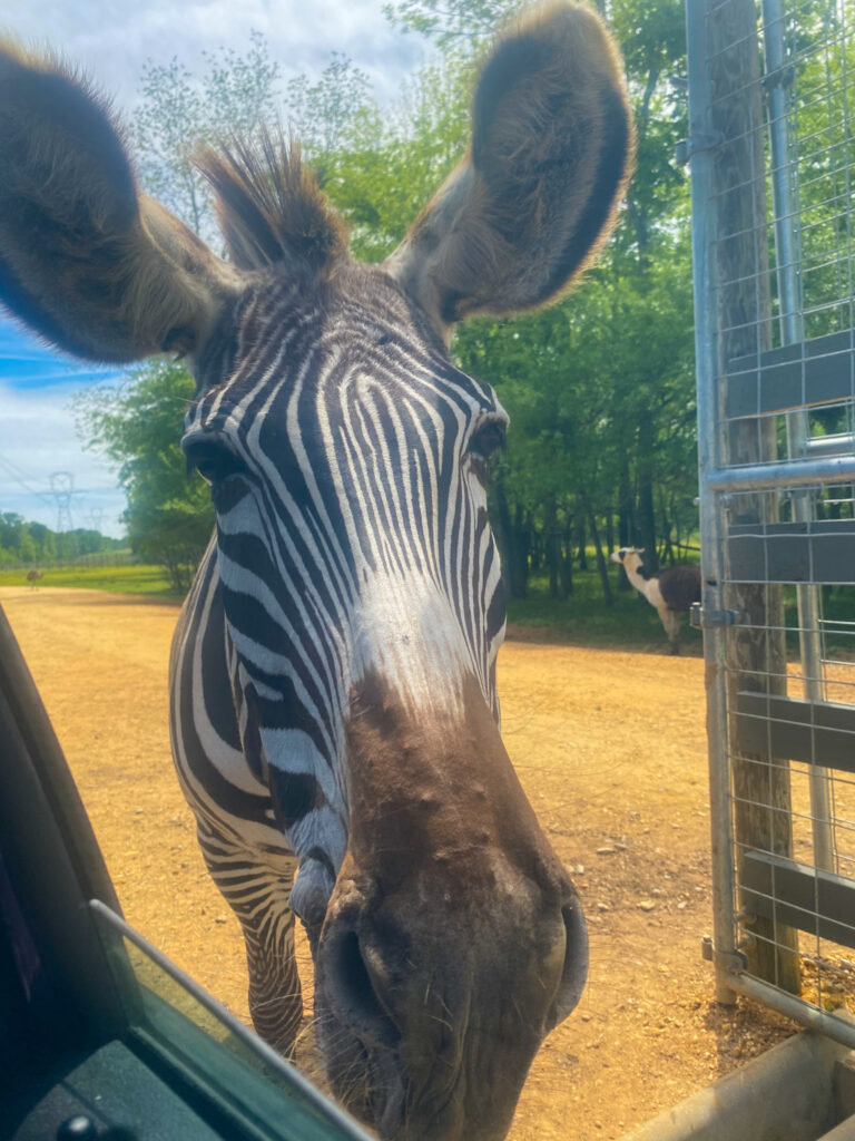 Zebra At The Alabama Safari Park.