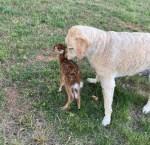 Alabama dog saves fawn in heroic rescue at Lake Martin