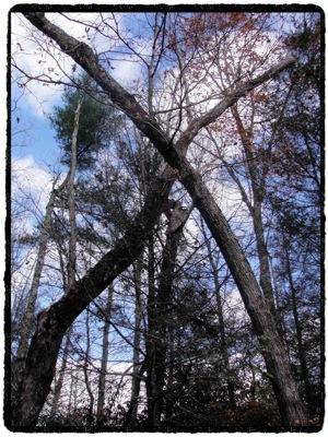 crossedtrees.jpg